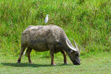 Buffalo and birds on green field. Thailand. Stock Photo