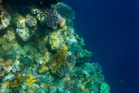 hard coral: Corals deep in the sea. Clear water. Egypt.