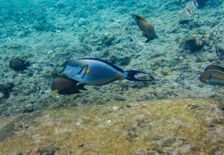 Lined surgeonfish swimming over the corals and other fish. Red sea. Egypt.