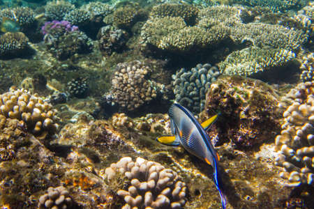 surgeonfish: Lined surgeonfish swimming over the corals. Red sea. Egypt. Stock Photo