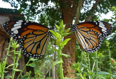 Two butterfly (Nymphalidae, Lepidoptera, Danainae) on a flower, in tropical village Stock Photo