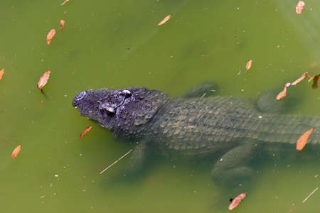 Young crocodile lying in turbid water