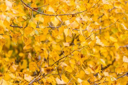 Yellow poplar leaves. Abstract fall background. Autumn background. Stock fotó