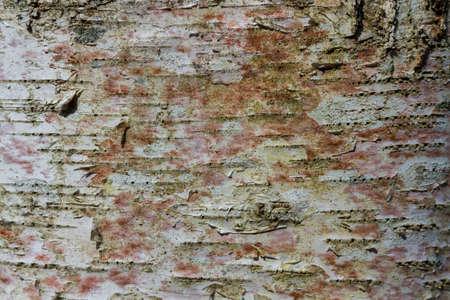 Fir tree bark texture. Natural background. Close-up