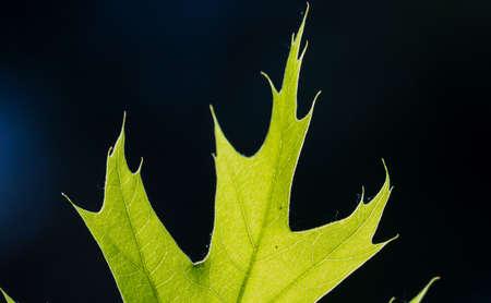 Part of green oak leaf in bright sunlight, macro