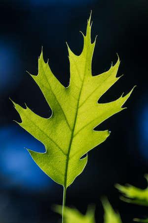 Green oak leaf in bright sunlight, macro