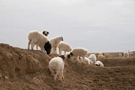 Herd of sheeps in Mongolian steppe. Early spring