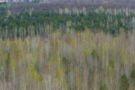 Spring forest trees texture. Nature background. Pripyat, Ukraine