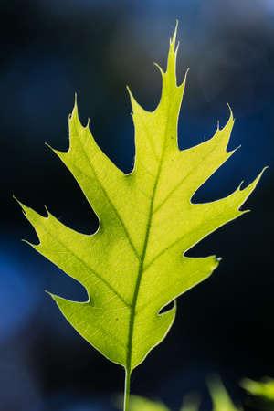Green oak leave in bright sunlight, macro
