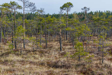View from the walking trail in swamps of Kemeri National park. Jurmala, Latvia