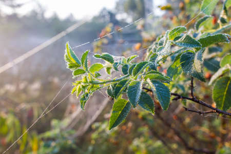 Early foggy morning in nature. Crystal drops of dew on briar bush and web