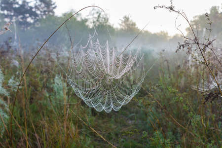 Early foggy morning in nature. Crystal drops of dew on the spider web