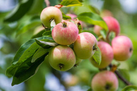 Several red apples on apple-tree branch. Closeup