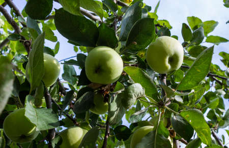 Several green apples on apple-tree branch. Closeup