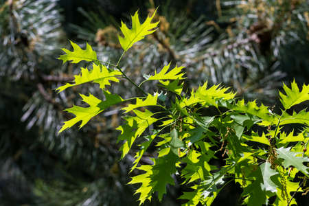 Lush green oak leaves backlit by the sun, on dark forest background