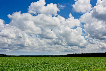 Green corn fied and cloudy sky. Dark green forest on background Stock Photo