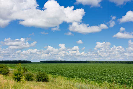 Green corn field and cloudy sky. Dark green forest on background and several green bush on foreground