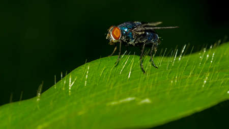 Housefly Macro Musca domestica Cyclorrhapha