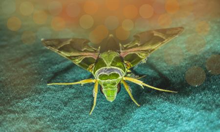 mimic: big animal mimic moth sitting on a green cloth Stock Photo
