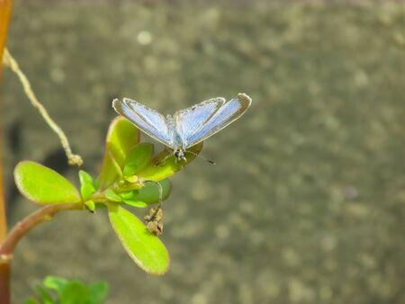 velvety: blue velvety butterfly having sunbath sitting on a leaf Stock Photo