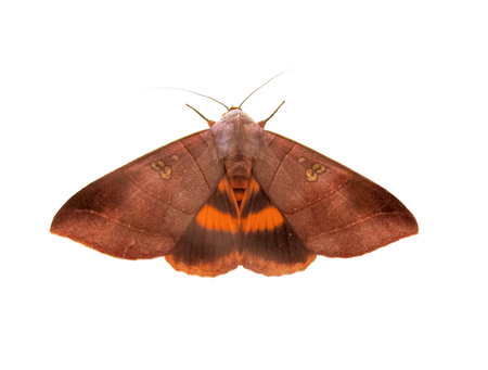 mimicry: Brown Moth on white background