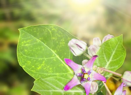 cytotoxic: Calotropis or Crown flowers