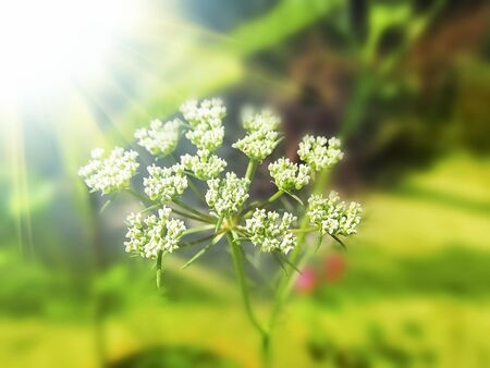 saunf: Fennel seed flowering top in the sunny day light in the field.