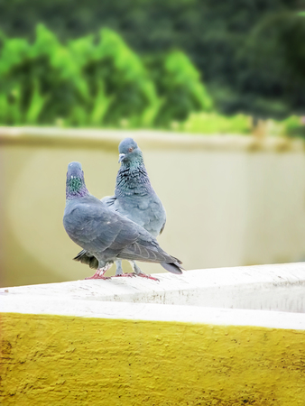 the pair: Love Pair- couple of Pegion