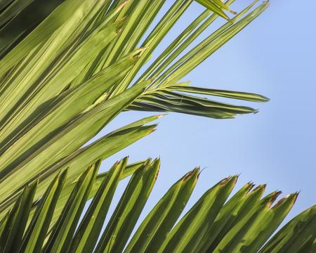 spreaded: Areca nut tree leaves on midday  sun glow.