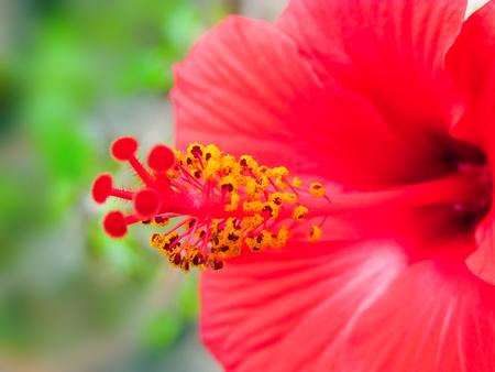 stigma: Pollens and stigma of Hibiscus  flower.Macro.