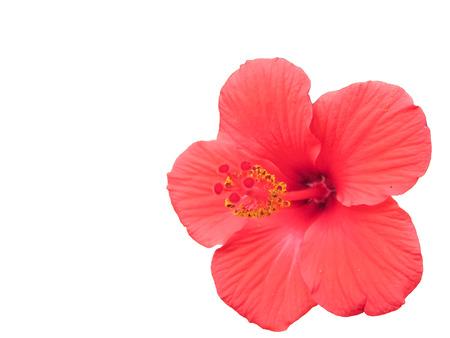 Pollens and stigma of Hibiscus  flower.Macro.