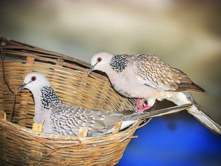 Dove Parents in The Nest; concept of togetherness,unity,relibility,