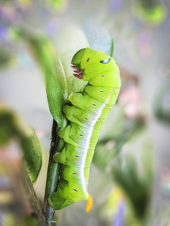 Green cobra Caterpillar in Macro.