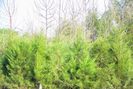 Forest area of Pine tree at the sea beach on the sand in the morning. India, Asia, february 2018. Travels and tour. Vacation. Relaxing. Leisure. Stock Photo