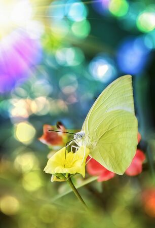 Eurema hecabe, the common grass yellow Butterfly sitting on flowers to take nectar,honey. Banco de Imagens
