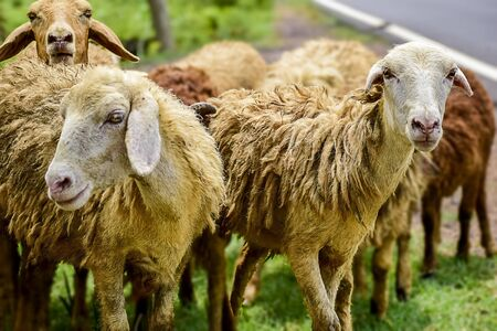 Sheep and lambs in flock of some unknown Livestock farm in close encounter looking with a curious and inquisitive eyes. India. Asia. 2019.