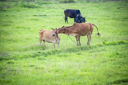 Love is on the air. A Cow carecess another one in flock of some unknown Livestock farm hervesting in th field in India of  Asia in 2019. 写真素材