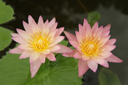 Pink water lily on green background photo