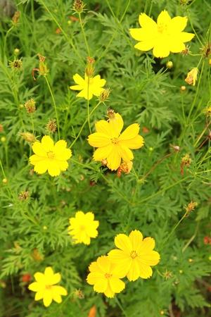 Beautiful yellow flowers field photo