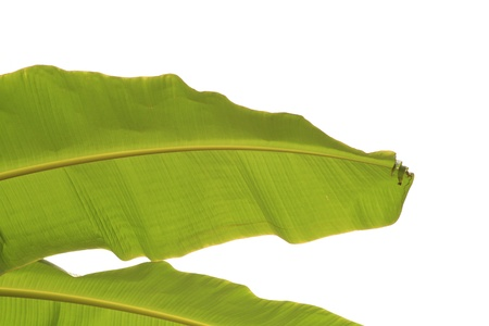 Banana leaf Isolated on white Stock Photo - 9998123