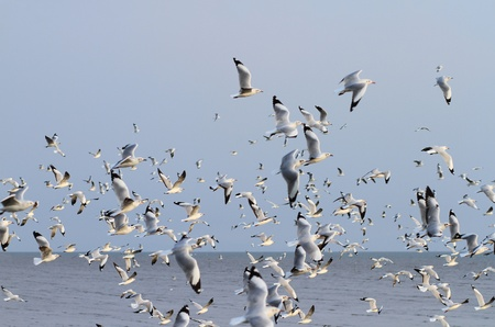 Flock of seagulls flying above the sea Stock Photo