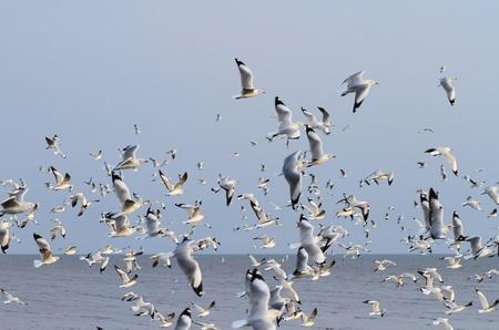 Herde von M�wen fliegen �ber dem Meer