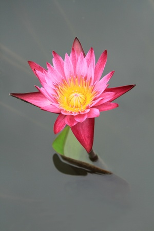 Pink water lily lotus flower with green leaves  photo