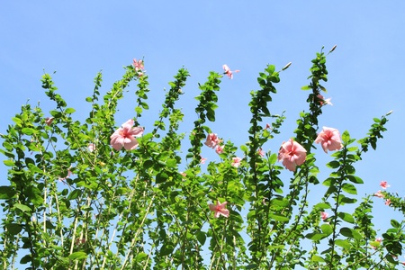 Hibiscus flower trees against blue sky background photo