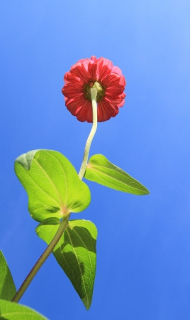 Zinnia flower against blue sky background photo