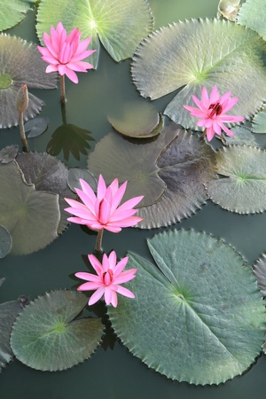 Pink water lilies flower on the pond photo