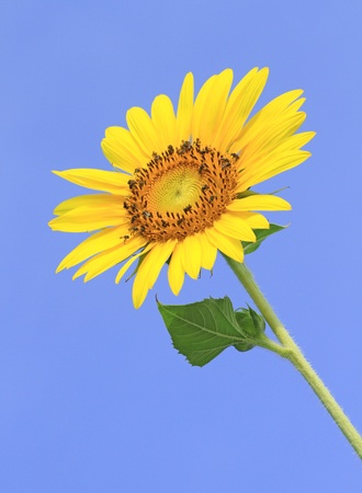 Sunflower flower photo