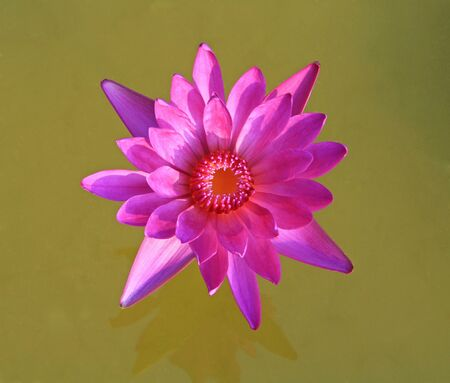 Pink lotus flower isolated  photo