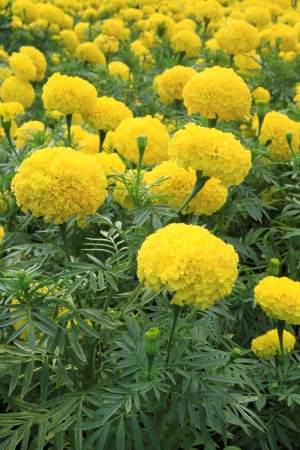 Marigold flowers field photo
