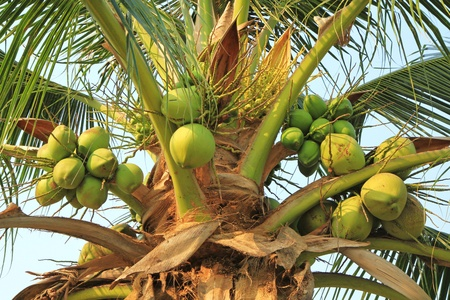 Coconut cluster on coconut tree  photo